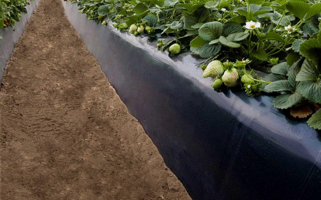 AgroGM recomienda a los técnicos de empresas de frutos rojos herramientas para mejorar la producción y maduración estancada